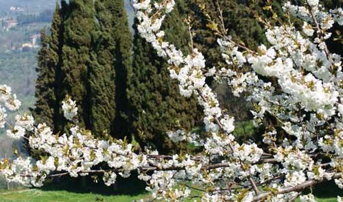 Fiesole in fiore il 28 aprile