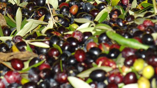 Cerveteri celebra l'olio d'oliva